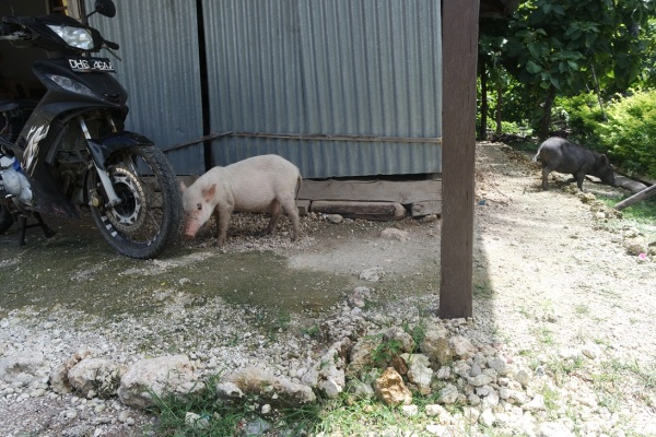 Kenapa anak babi jalannya nunduk? :D ... (Eh ada Jupiter MX ikutan nampang)